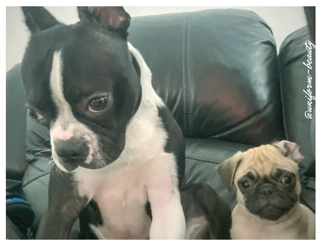 Dog Lovers |Boston Terrier and Pug